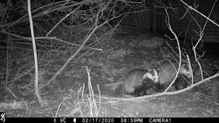 FEBRUARY: 2 badgers shoot into sett entrance simultaneously!