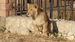 Masha, la lionne qui garde ses brebis