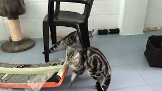 แมวผสมพันธุ์ อเมริกันช็อตแฮร์