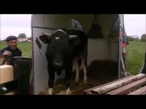 Перевозка животных (коровы и быки)