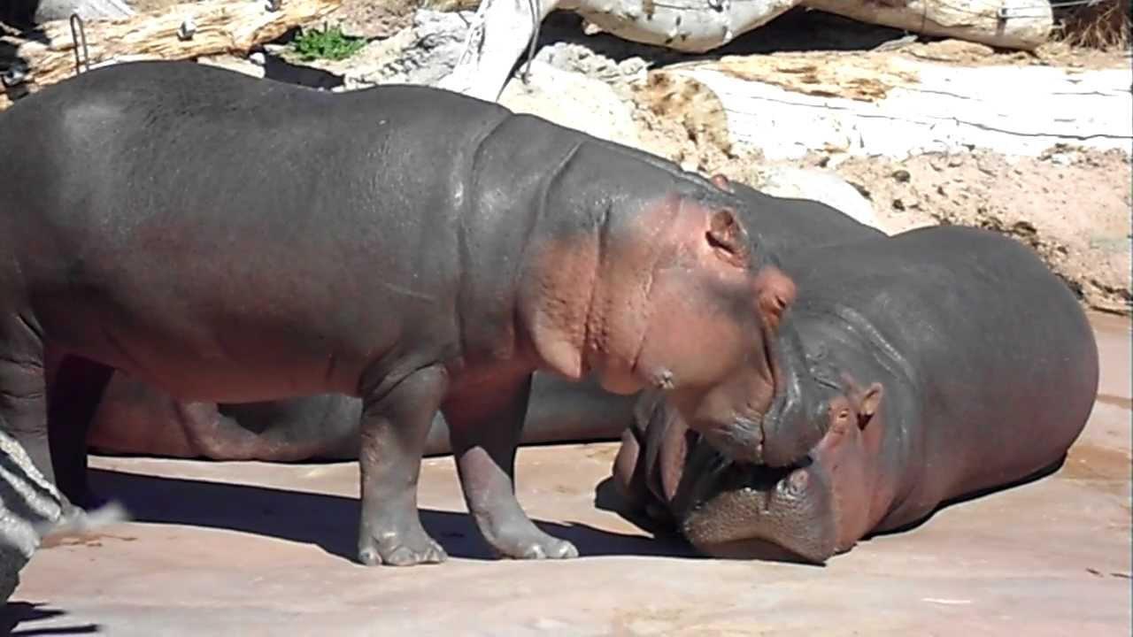 Baby Hippo Lettuce