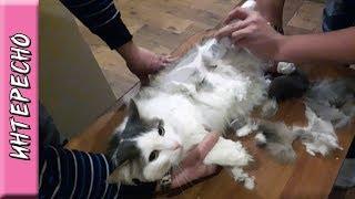 Впервые стрижём кота \ Стрижка кота своими руками или как подстричь кота