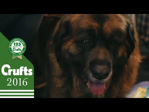The Leonberger - Exclusive behind the scenes with the Best of Breed winner | Crufts 2016