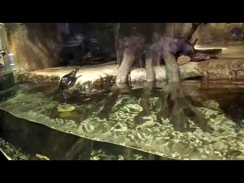 18 Dubai Mall Aquarium Oriental small clawed otter Amblonyx cinereus