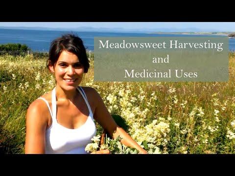 Harvesting Meadowsweet (Filipendula ulmaria) to make herbal remedies
