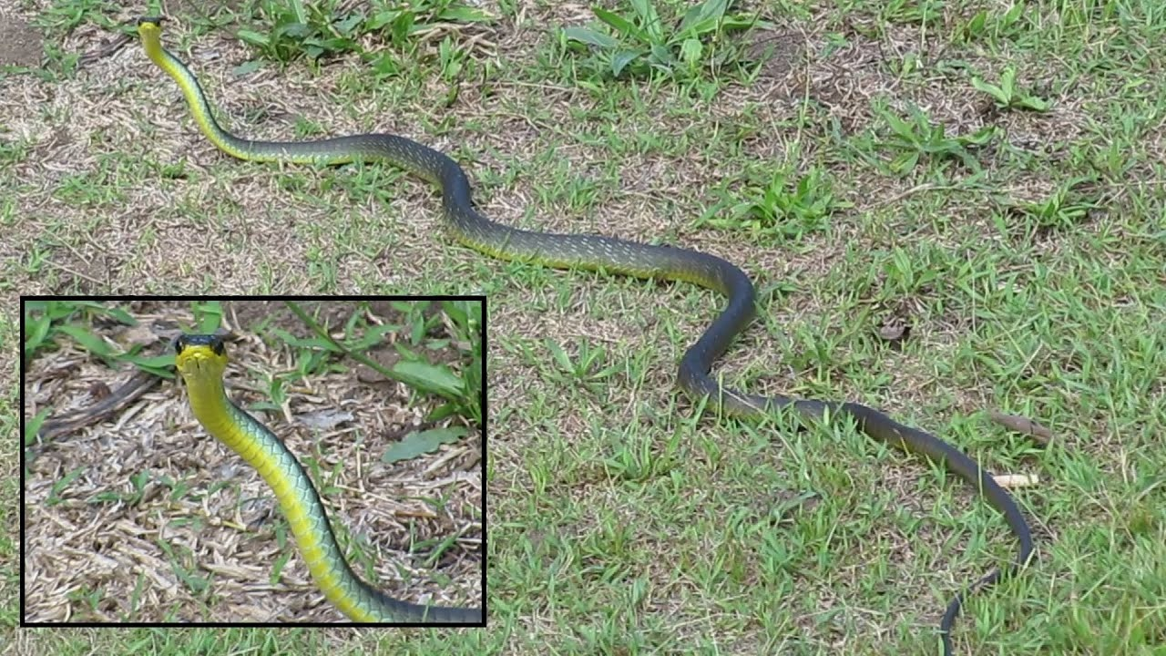 green tree snake out for a stroll youtube
