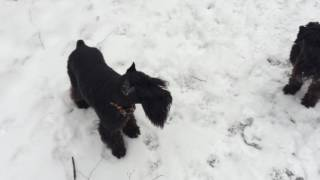 Цвергшнауцер - маленькая собака и большой друг, очень любит играть