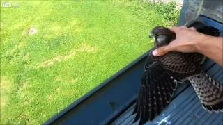 baby falcons turmfalke got stuck behind balcony glass