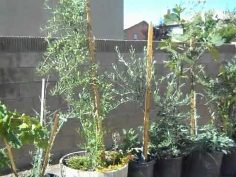 Olive Tree Container Profile 1