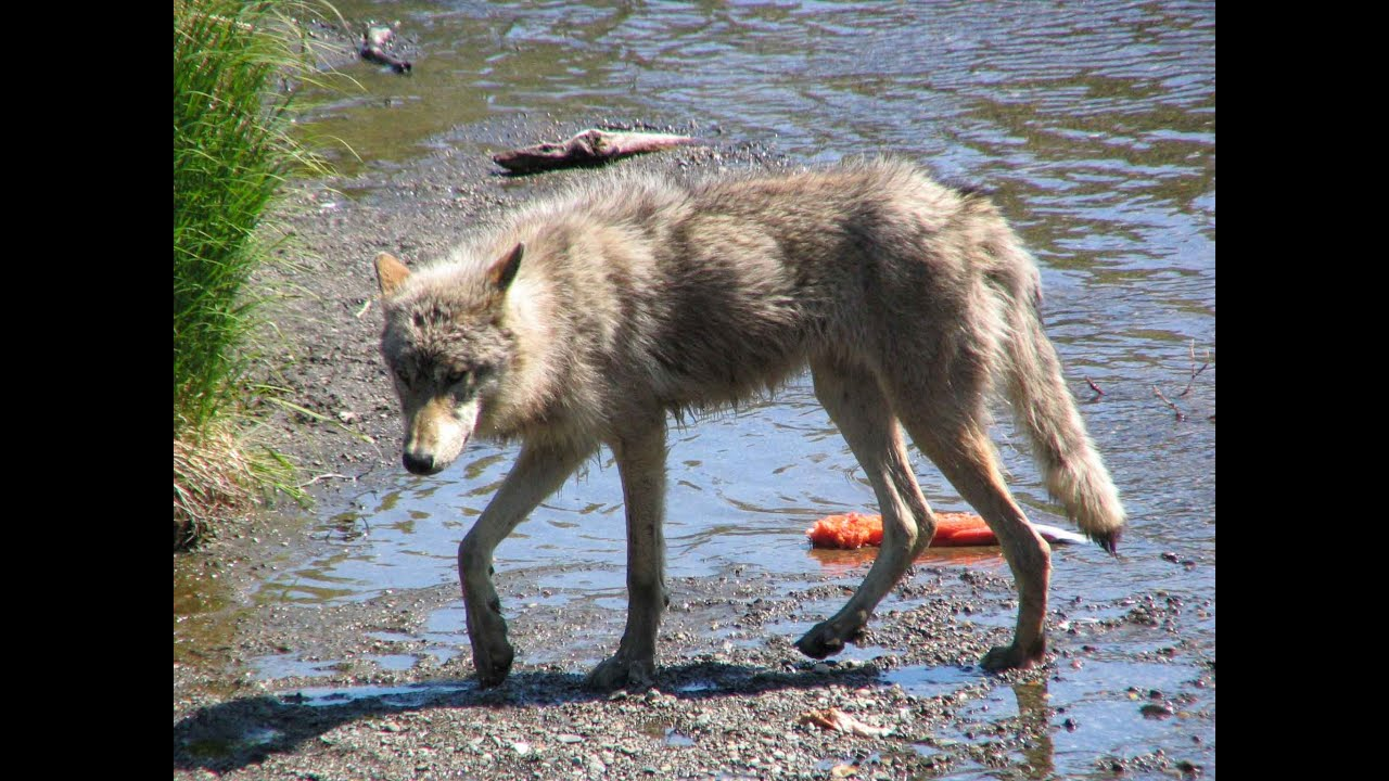 Wolf Catches Salmon At Brooks Falls Youtube