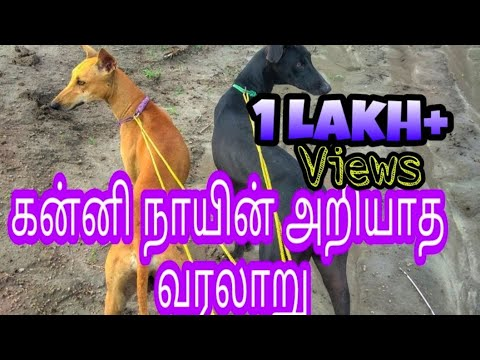 Unknown history of kanni ( chippiparai) dogs | கன்னி நாயின் அறியாத வரலாறு | Indian hounds