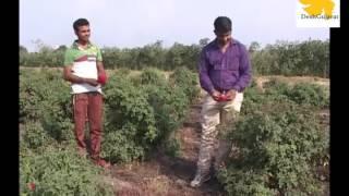 farmers-in-gujarat-achieve-success-in-kashmiri-rose-farming
