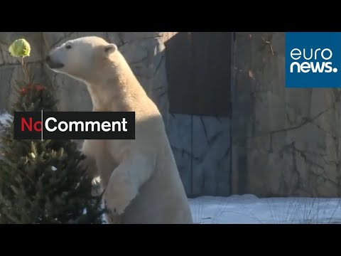 No Comment TV: Zoo uses redundant Christmas trees to give animals a treat