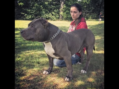 THE HULK LIFE: Feel The Force Giant Blue Pit bull attacks! i called the police!