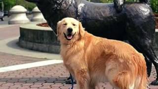 La Mejor Raza De Perros Del Mundo, El Golden Retriever