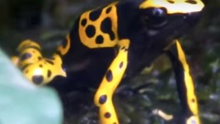 Toxic frog. Yellow-banded Poison Dart Frog.有毒蛙。キオビヤドクガエル。
