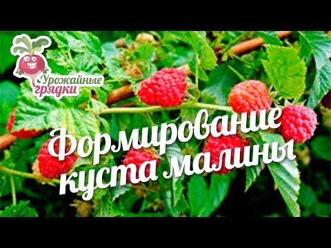Формирование куста малины #urozhainye_gryadki