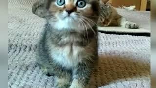 Вислоухий котенок купить питомник Melody Soul