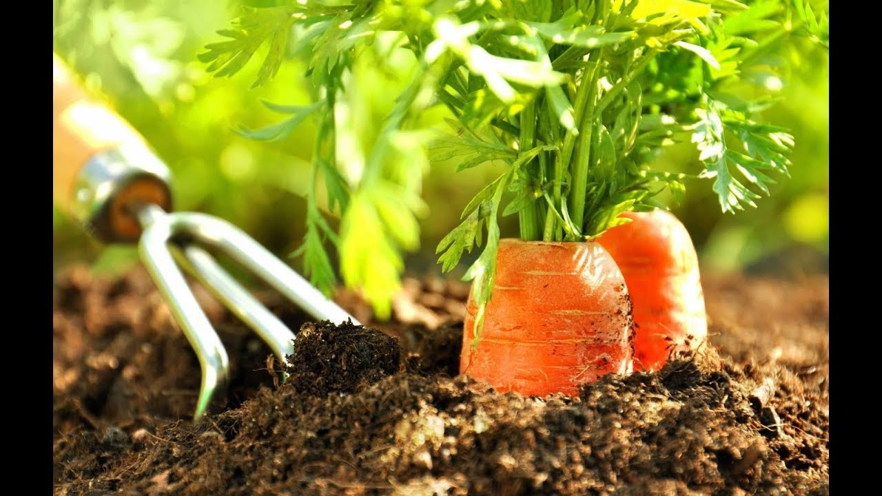 посадка моркови на огороде