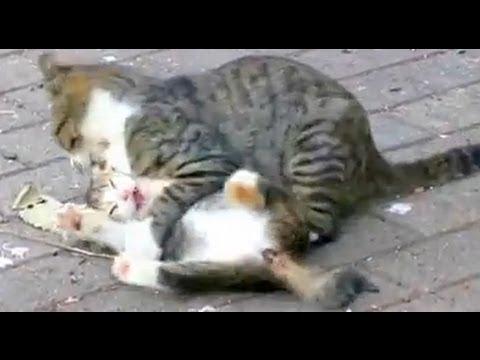 親猫に次々に襲われる子猫たち!!     でもその隙にしっぽを狙う