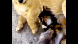 кошка делает приятное собаке.mp4