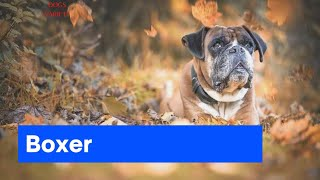 BOXER dogs breeds