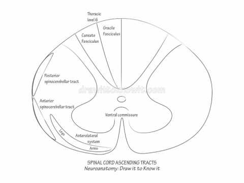 spinal cord ascending tracts draw it to know it neuroanatomy Spinal Cord Diagram Unlabeled spinal cord ascending tracts draw it to know it neuroanatomy youtube