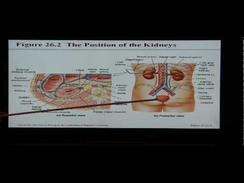 Anatomy and Physiology Help: Chapter 26 Urinary System