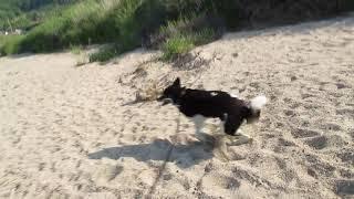 砂浜でチロがラッタッタ.
