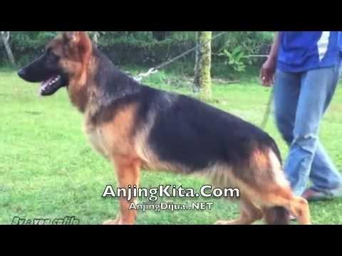 Anjing Dijual Herder Youtube