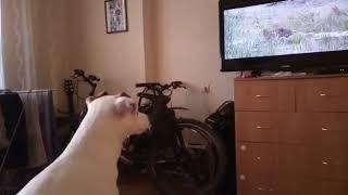 Собака смотрит телевизор.Видели видео?