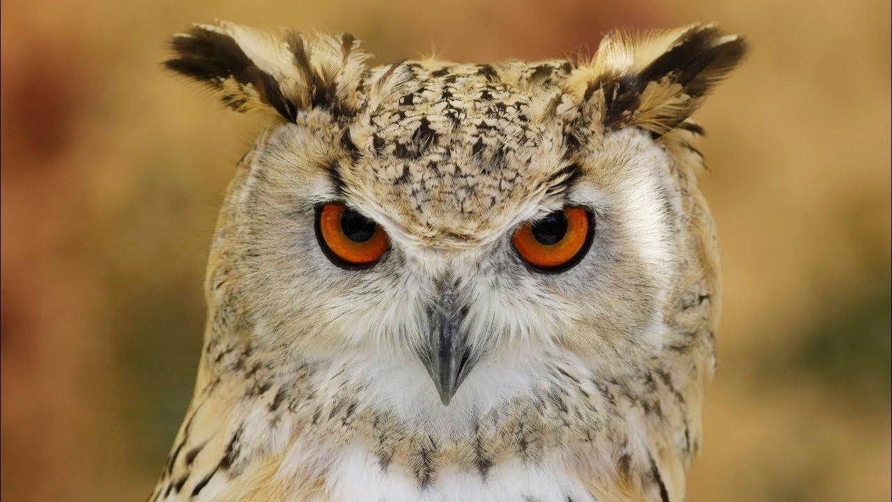 Sex Owl