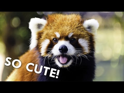 Red Pandas are Dangerously Cute