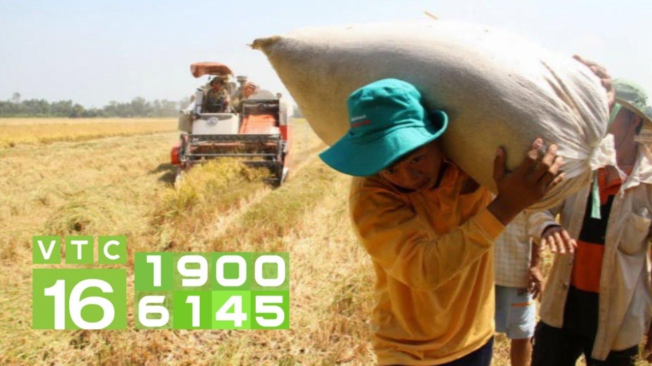 Giá lúa lao dốc 3.800 đồng/kg, vì đâu nên nỗi?   VTC16