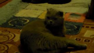 Поведение кошки после удачного спаривания.