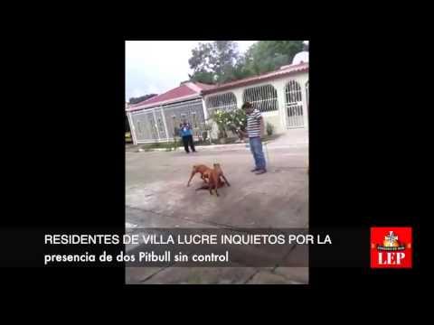 Temor por Pitbulls en Villa Lucre