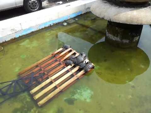 Tartarughe nella fontana di piazza alfieri youtube for Laghetto per tartarughe senza filtro