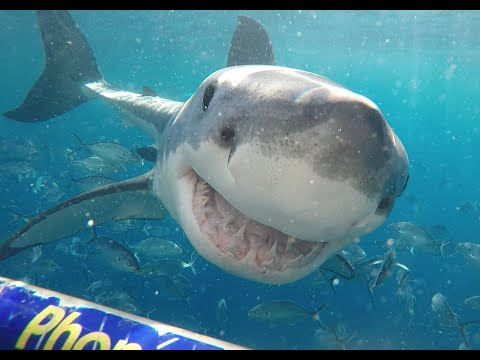 Who said a Great White Shark can't smile??