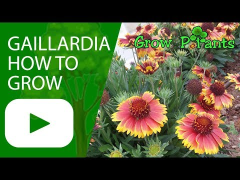 Gaillardia -  Blanket flower - How to grow