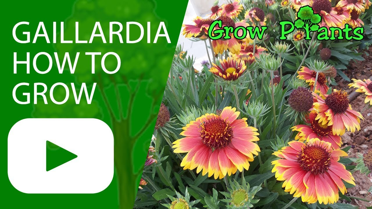 Gaillardia Blanket Flower How To Grow Youtube