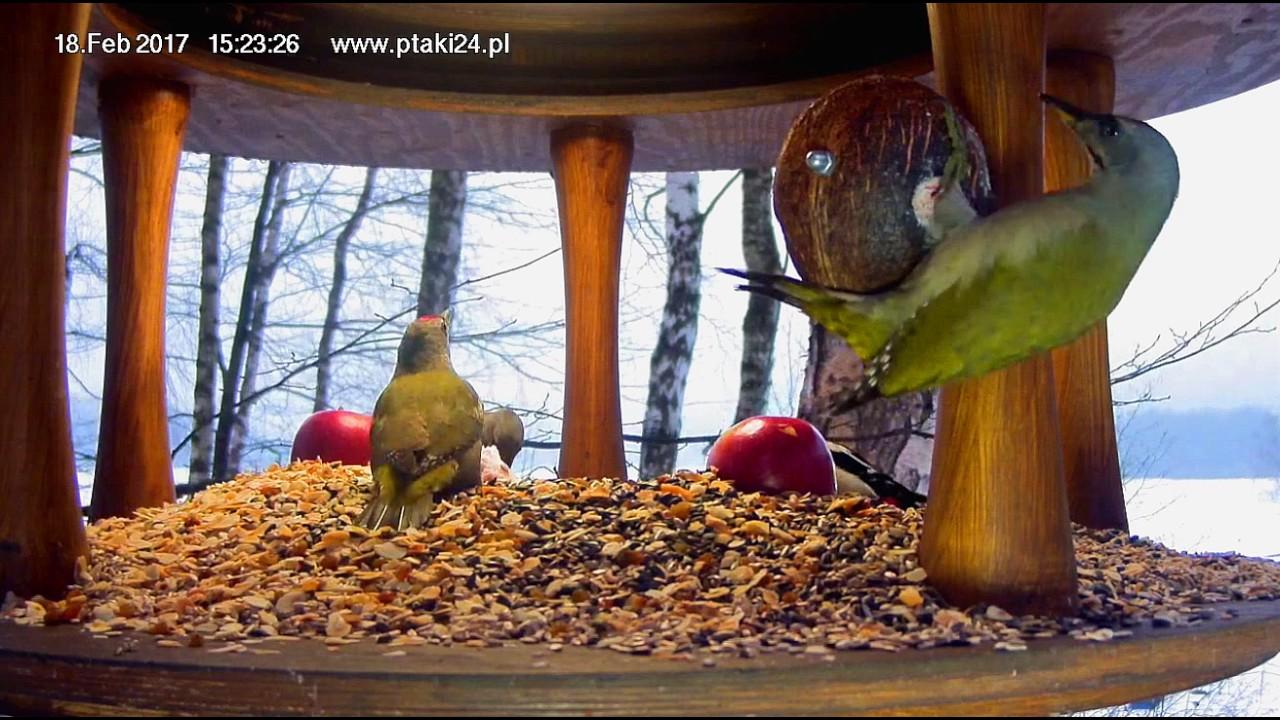 Pięć dzięciołów, sikorki i kowaliki w karmniku dla ptaków nad Soliną w Bieszczadach