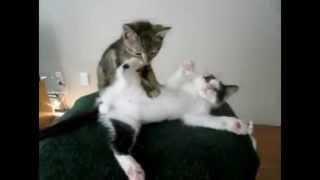 Смешной котенок делает массаж кошке :)