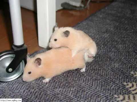 Hamster fuck
