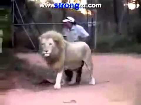Мужик дергает льва за хвост. Это невероятно
