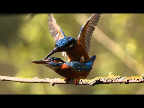 Kingfisher Diary Ep 6 - Kingfishers Mating