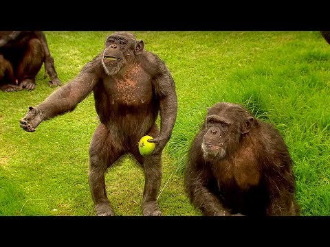 How to Speak Chimpanzee - Extraordinary Animals - Series 2 - Earth