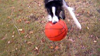 funny border collie