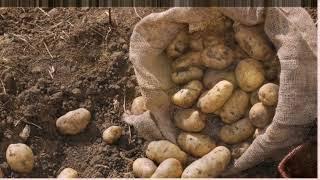 Как получить ведро картофеля с одного куста. Как вырастить картофель из клубней дома .