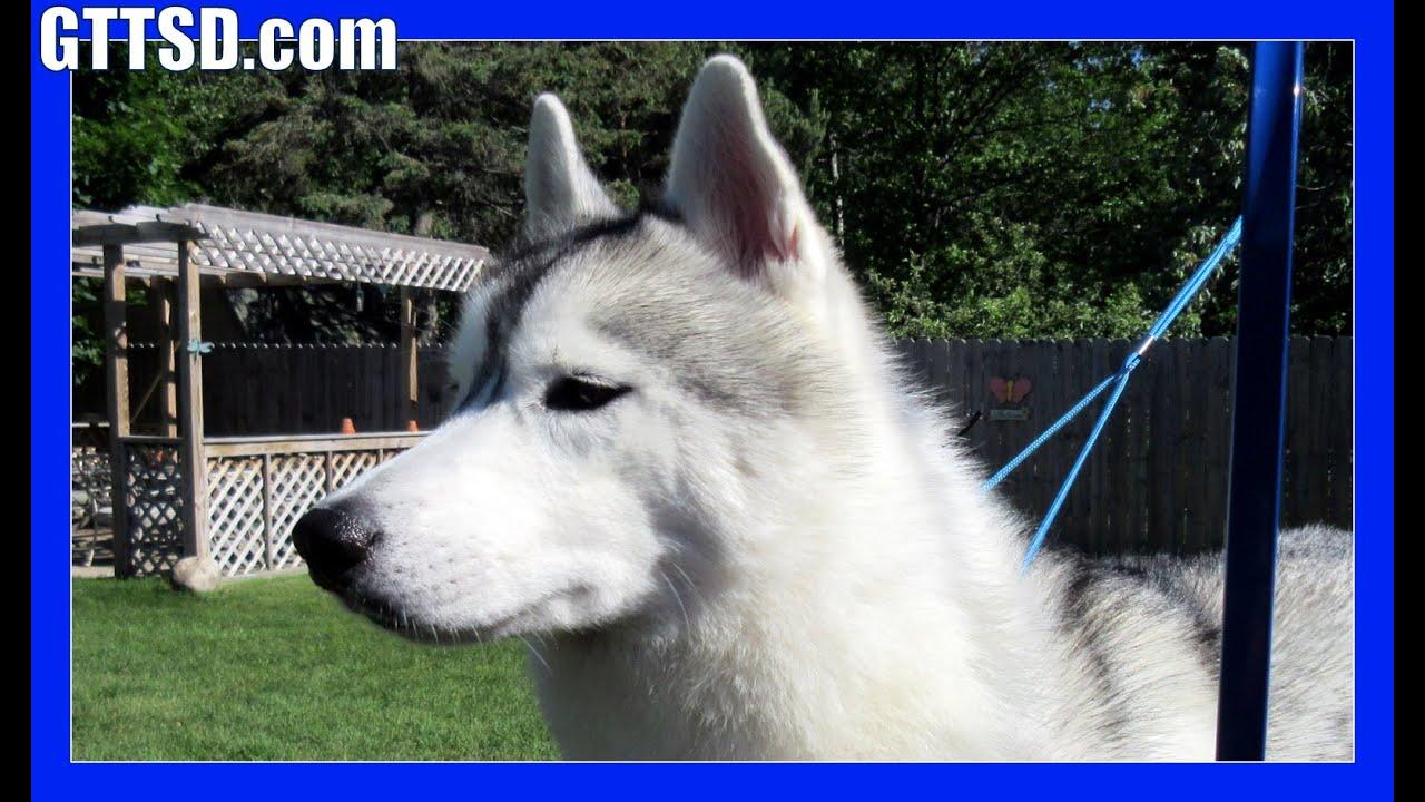 Do Huskies Shed How To Groom A Siberian Husky Huskies Blowing