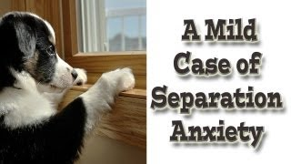 Separation Anxiety - Mild Case - Positive Reinforcement Dog Training